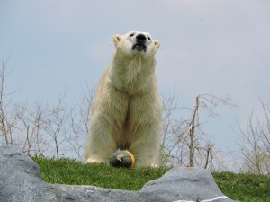Urso polar no Toronto Zoo.